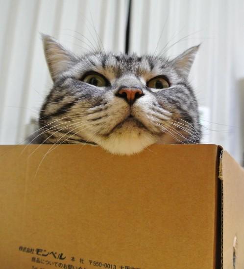 モンベルの箱から顔を出す猫